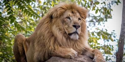 Lion on boulder